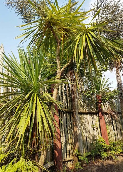 nz cabbage tree ta parapara garden hamilton jan 2020 small
