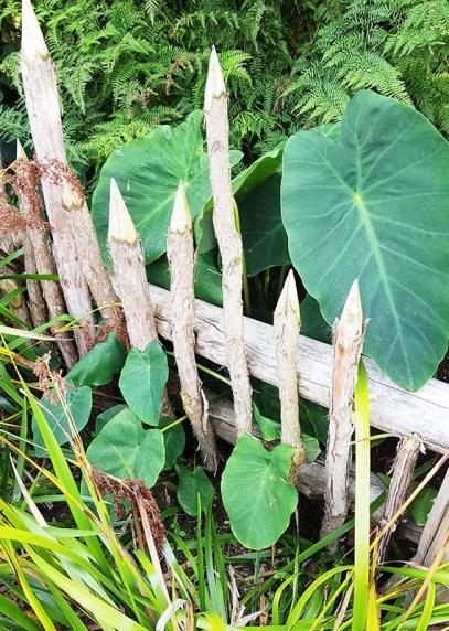 taro te parapara garden hamlton jan 2020 small